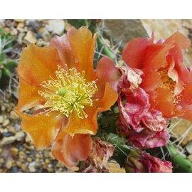 Opuntia phaeacantha  cv. Orangeade     (dw)
