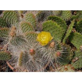 Opuntia polyacantha var. trichophora      (dw)