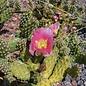 Opuntia rutila cv. Super      (dw)