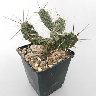 Opuntia rutila       (dw)