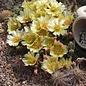 Opuntia fragilis SB 1423  Deuel Co. Nebrasca, USA    (dw)