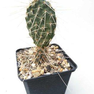 Opuntia ursina       (dw)