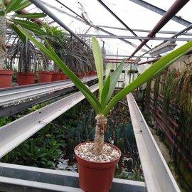 Crinum asiaticum   Hawaii