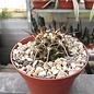 Copiapoa megarhiza v. borealis  Sterra Pinun
