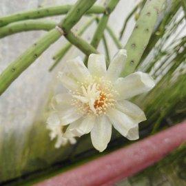 Rhipsalis neves-armondii