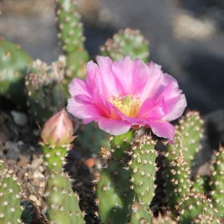 Opuntia phaeacantha cv. minor      (dw)