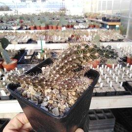 Austrocactus spec. PHA 2145 clone 6 grafted