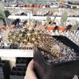 Austrocactus spec. PHA 2145 clone 15 grafted