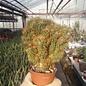 Cereus peruvianus monstruosus cv. Gelber Felsenkaktus