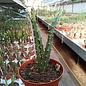 Aporophyllum-Hybr. Angela Paetz
