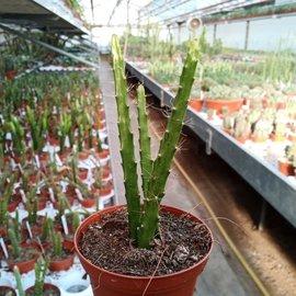 Aporophyllum-Hybr. Brilliant