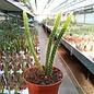 Aporophyllum-Hybr. Concinna