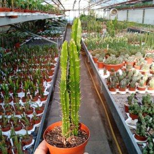 Aporophyllum-Hybr. Fliedery Paetz