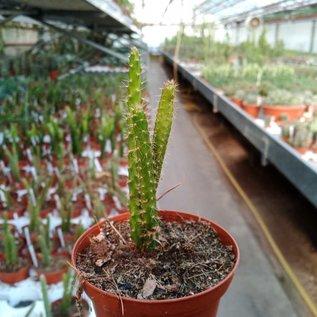 Aporophyllum-Hybr. Haiko Paetz