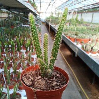 Aporophyllum-Hybr. Klärchen