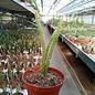 Aporophyllum-Hybr. Klothilde Nerwerk