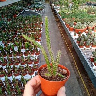 Aporophyllum-Hybr. Lilly