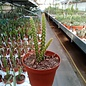Aporophyllum-Hybr. Marcha