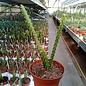 Aporophyllum-Hybr. Marsha