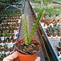 Aporophyllum-Hybr. Najla
