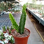 Aporophyllum-Hybr. Rosita Paetz