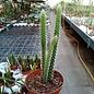 Aporocactus-Hybr. Rolfs Dicke