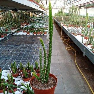 Aporophyllum-Hybr. Stuttgarter Delicate Stripes