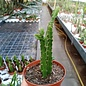 Aporophyllum-Hybr. Yvonne Paetz