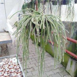 Rhipsalis fasciculata