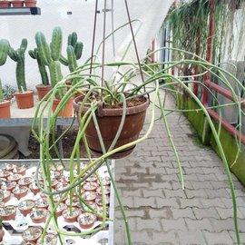 Cynanchum viminale   Réunion