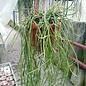 Cynanchum insigne   Madagaskar, (syn. Platykeleba, Sarcostemma insigne)