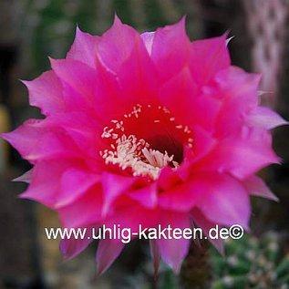 Echinopsis-Hybr. Sonata B  Rheingold 215