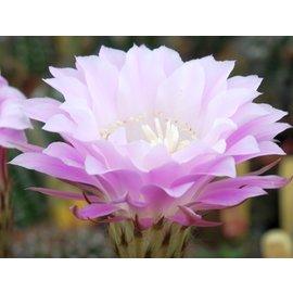 Echinopsis-Hybr. Rosina