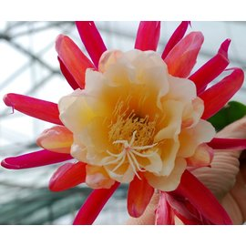 Epiphyllum-Hybr. Liane Paetz
