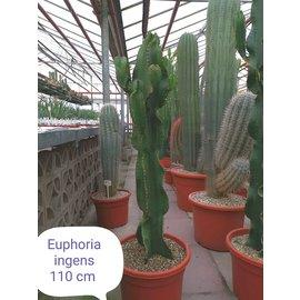 Euphorbia ingens  verzweigt