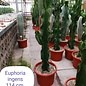Euphorbia ingens  branched - only unpotted available