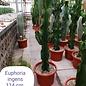Euphorbia ingens  verzweigt - nur ausgetopft lieferbar