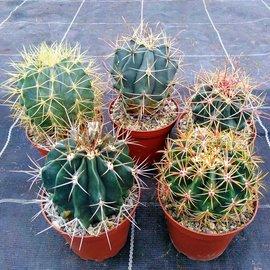 Offre spéciale Ferocactus