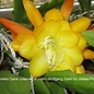 Epiphyllum-Hybr. French Gold