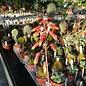 Aloe fragilis   Vohemar, Madagaskar   CITES, not outside EU