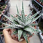 Haworthia fasciulata Big Band-Albino