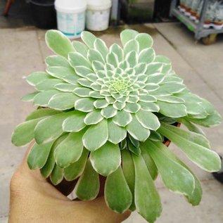 Aeonium tabuliforme variegata