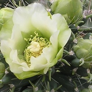 Cylindropuntia imbricata cv. weiße Blüte  Canyon City, Fremont Co Colorado    (dw)