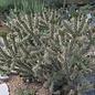 Cylindropuntia viridiflora SB 957  Santa Fe, Co. NM    (dw)