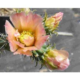 Cylindropuntia viridiflora Typ 3 Frank      (dw)