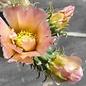 Cylindropuntia viridiflora cv. Frank      (dw)