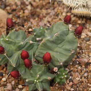 Echinocereus triglochidiatus   Manzano, Mts    (dw)