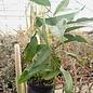 Hoya flavescens