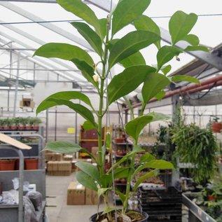 Hoya multiflora cv. Long Leaces
