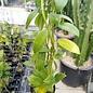 Hoya coronaria cv. Red (bangnara)